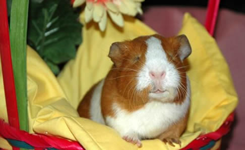 Ct Guinea Pig Rescue